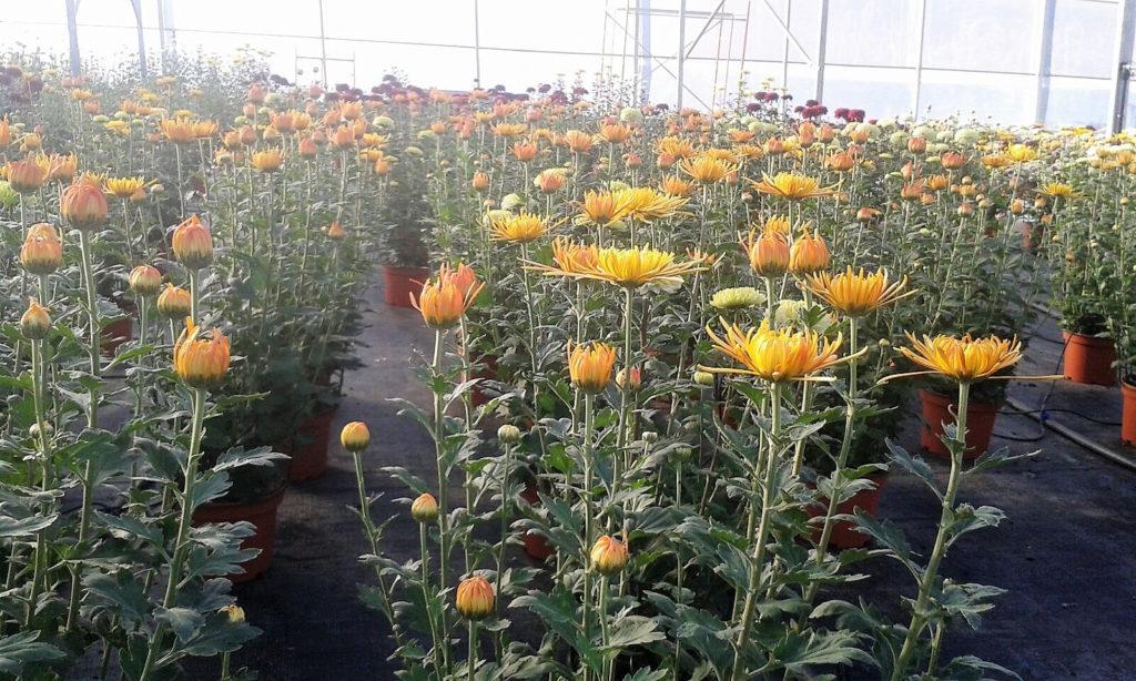 ejemplo de producción ornamental con flores amarillas